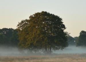 Baum im Nebel in der Barker Heide